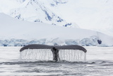 Humpback Whale (Megaptera Novaeangliae)  Flukes-Up Dive in the Enterprise Islands  Antarctica