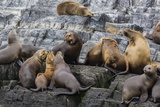 South American Sea Lions (Otaria Flavescens) in Breeding Colony Hauled Out