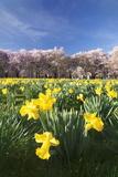 Cherry Blossom and Narcissi Blossom  Palace Garden  Schloss Schwetzingen Palace