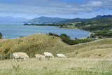 Sheep Grazing  Farewell Spit  South Island  New Zealand  Pacific