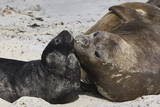 New Born Southern Elephant Seal (Mirounga Leonina) Pup with Mother