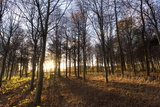 Late Afternoon Winter Sunlight Shining Through Trees in Woodland at Longhoughton