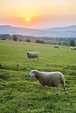 Cotswold Sheep at Sunset  Winchcombe  the Cotswolds  Gloucestershire  England