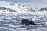 Humpback Whale (Megaptera Novaeangliae)  Adult Spy-Hopping in Cierva Cove  Antarctica