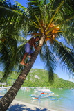 Man Climbing on a Coconut Tree  El Nido  Bacuit Archipelago  Palawan  Philippines