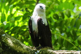 White-Bellied Sea Eagle (Haliaeetus Leucogaster)  Davao  Mindanao  Philippines