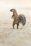 Ground Squirrel (Xerus Inauris) Standing Upright  Kgalagadi Transfrontier Park  Northern Cape