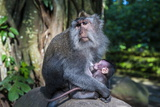 Crab-Eating Macaque (Macaca Fascicularis) Mother with Baby  Monkey Forest  Ubud  Bali  Indonesia
