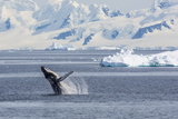 Adult Humpback Whale (Megaptera Novaeangliae) Breaching in the Gerlache Strait