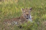 Leopard  Okavango Delta  Botswana  Africa
