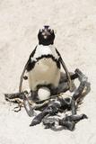 African Penguin Sitting on an Egg (Jackass Penguin)  Foxy Beach  Boulders Beach National Park
