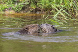 Eurasian Beavers (Castor Fiber)  Captive in Breeding Programme  United Kingdom  Europe