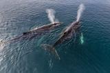 A Pair of Adult Humpback Whales (Megaptera Novaeangliae)