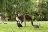 Kangaroos  Yenchep National Park  Western Australia  Australia  Pacific