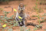Ground Squirrel (Xerus Inauris) Eating Devil's Thorn Flowers (Tribulus Zeyheri)
