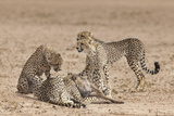 Cheetah (Acinonyx Jubatus) Killing Baby Common Wildebeest (Connochaetes Taurinus)