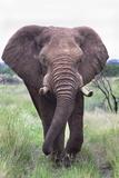 Bull Elephant (Loxodonta Africana)  Madikwe Deserve  North West Province  South Africa  Africa