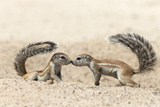 Ground Squirrels (Xerus Inauris) Greeting  Kgalagadi Transfrontier Park  Northern Cape