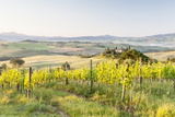 Vineyards and Il Belvedere on the Val D'Orcia  UNESCO World Heritage Site  Tuscany  Italy  Europe