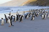 Gentoo Penguins (Pygoscelis Papua) on Beach with Rolling Waves