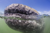 California Gray Whale (Eschrichtius Robustus) Approaching Zodiac Underwater in Magdalena Bay