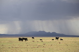 Cattle on Ranch  Thunder Storm Clouds  Santa Fe County  New Mexico  Usa