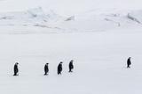 Emperor Penguins (Aptenodytes Forsteri) Marching across Sea Ice on Snow Hill Island