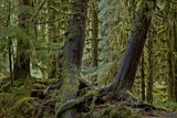 Moss-Covered Tree Trunks in the Rainforest  Olympic National Park  Washington State  Usa