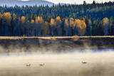 Wildfowl on Snake River Surrounded by a Cold Dawn Mist in Autumn (Fall)