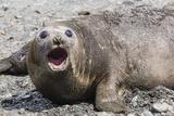Southern Elephant Seal (Mirounga Leonina) Adult Female Calling  Prion Island  South Georgia