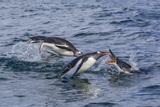 Adult Gentoo Penguins (Pygoscelis Papua) Porpoising for Speed in Cooper Bay