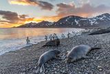 Southern Elephant Seal (Mirounga Leonina)  Weaner Pups at Sunrise  Gold Harbour