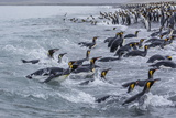 King Penguins (Aptenodytes Patagonicus) Returning from Sea at Salisbury Plain