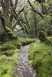 Moss Covered Forest Above Lake Mackenzie  Routeburn Track  Fiordland National Park