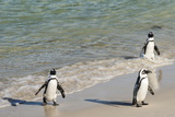 Three African Penguins (Jackass Penguins) Coming Ashore from the Ocean