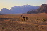 Bedouin with Camels  Wadi Rum  Jordan  Middle East