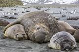 Southern Elephant Seal (Mirounga Leonina) Bull Holding Female Down for Mating