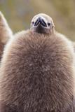 King Penguin (Aptenodytes Patagonicus)  Close Up of Okum Boy Chick  Gold Harbour