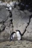 Fiordland Crested Penguins (Tawaki)  Doubtful Sound  Fiordland National Park