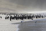 Gentoo Penguin (Pygoscelis Papua) and Sea Spray  the Neck  Saunders Island