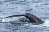 Humpback Whale (Megaptera Novaeangliae)  Flukes-Up Dive  English Strait