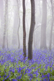 Bluebell Wood in Morning Mist  Lower Oddington  Cotswolds  Gloucestershire  United Kingdom  Europe