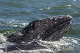California Gray Whale (Eschrichtius Robustus) Calf with Mother in Magdalena Bay