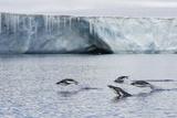Porpoising Adult Adelie Penguins (Pygoscelis Adeliae)  Brown Bluff  Weddell Sea