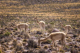Vicuna (Vicugna Vicugna) Camelids Grazing on Desert Vegetation  Atamaca Desert  Chile