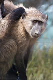 Chacma Baboon (Papio Ursinus)  Cape of Good Hope  Table Mountain National Park
