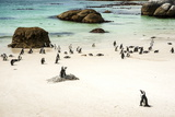 African Penguins at Foxy Beach  Boulders Beach National Park  Simonstown  South Africa  Africa