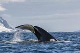 Adult Humpback Whale (Megaptera Novaeangliae)  Flukes-Up Dive in Orne Harbor  Antarctica