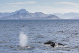 Adult Humpback Whales (Megaptera Novaeangliae) Feeding Near Ilulissat  Greenland  Polar Regions