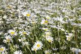 Flower Meadow with Marguerites (Leucanthemum Vulgare)  Baden Wurttemberg  Germany  Europe
